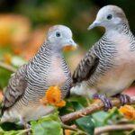 Pakan 5 perkutut Burung untuk Optimal Pertumbuhan