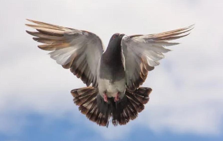 gambar-burung-merpati