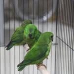 Mengenali Tipe Burung Serindit Di Indonesia
