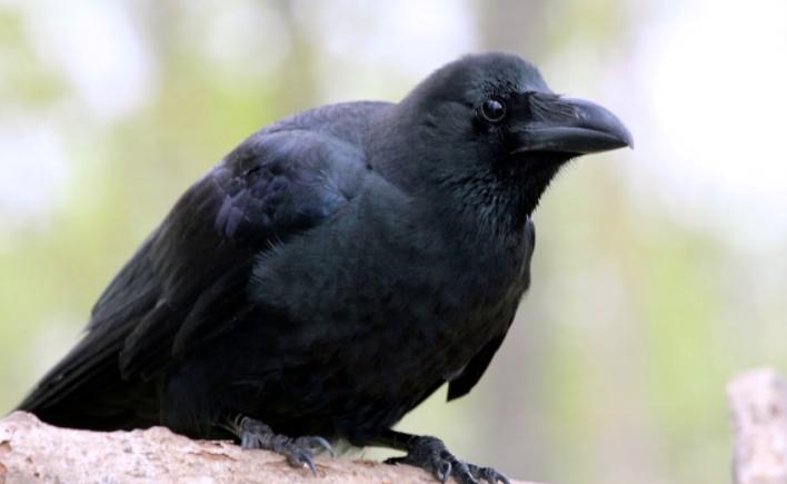 mitos-burung-gagak